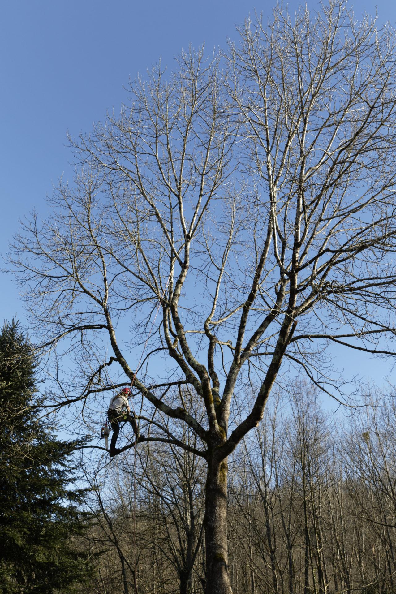 Doctor tree, Taille d'éclaircissement sur un frene.