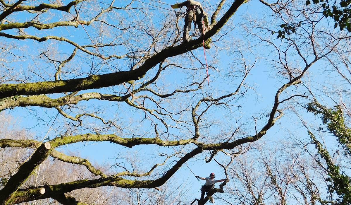 Doctor tree, taille du chêne